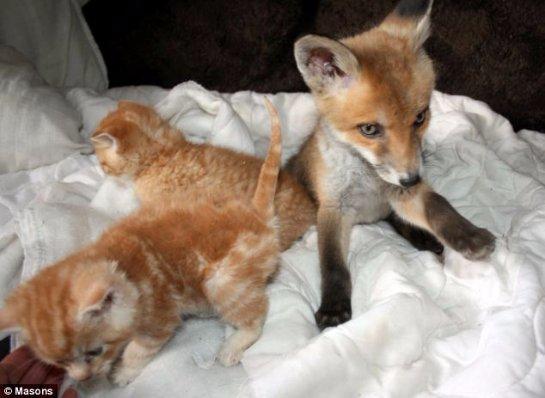 Котята спасли сбитого лисёнка