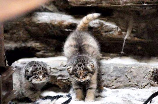 В Новосибирском зоопарке живут детеныши манула
