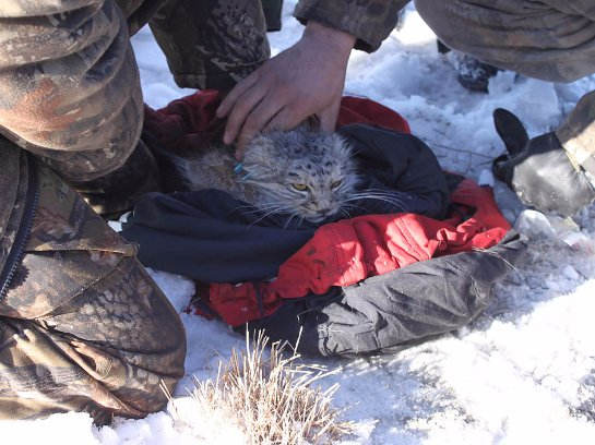В Даурском заповеднике изучают котов-манулов
