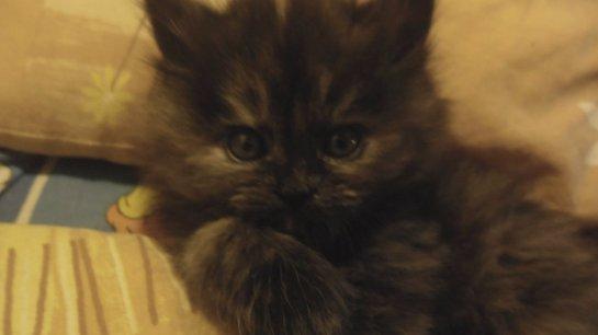 Кошка-крысолов Массандра
