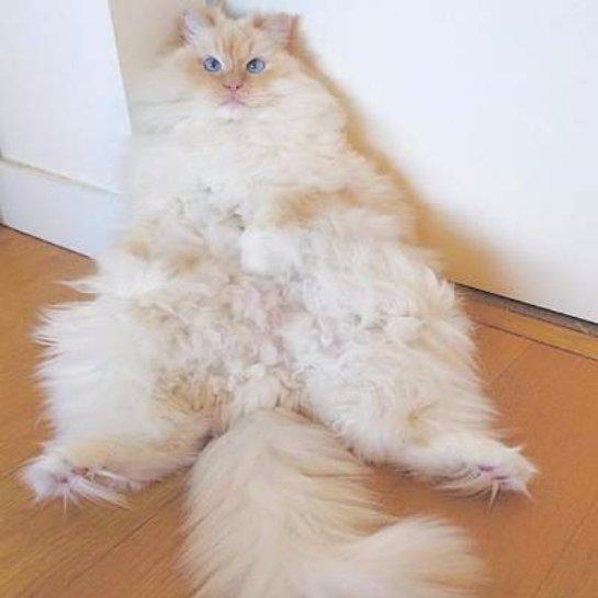 Скай- самый пушистый кот в мире