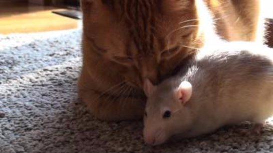 Кот подружился с крысой