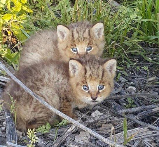 В Израиле спасли двух детенышей дикого камышового кота