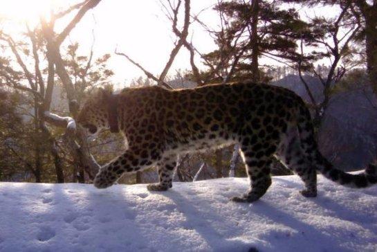 Леопард-долгожитель Алексей из национального парка