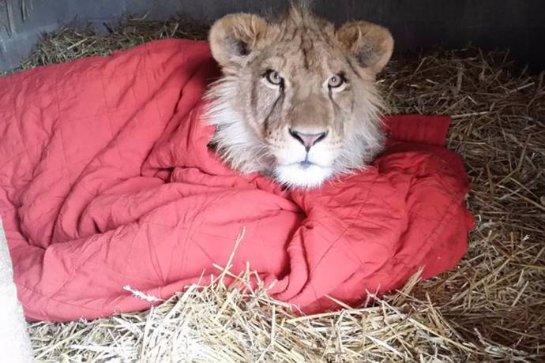 Лев Ламберт и его одеялко