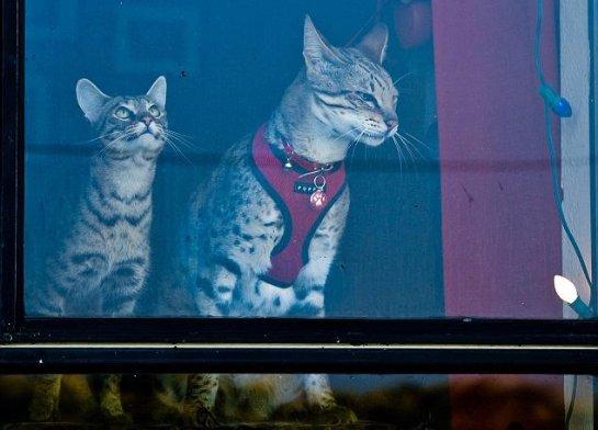 Трабл- самый высокий в мире кот