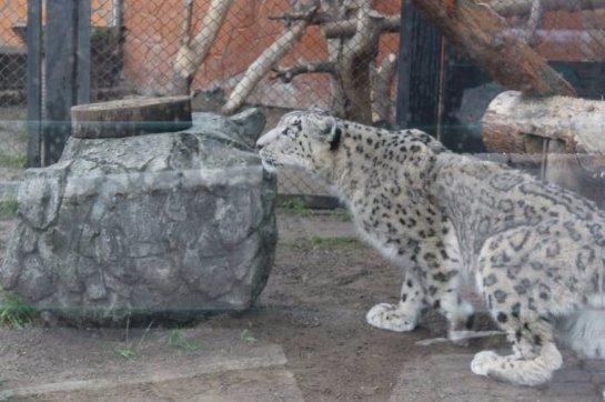 В Красноярский зоопарк завезли самца снежного барса