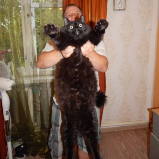 Невероятно огромный черный кот