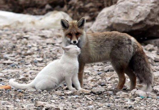 Лиса дружит с кошкой