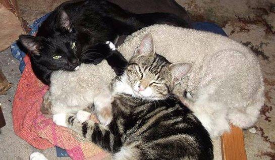 Дружба кошек с ягненком