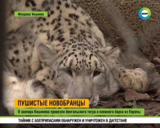 В зоопарк Кишинева привезли бенгальского тигра и снежного барса