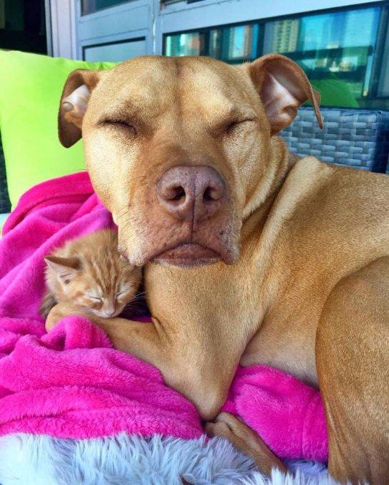 Котенок дружит с питбулем