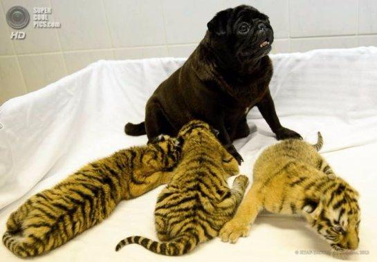 Мопсы стали мамами для тигрят