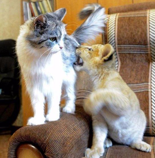 Маленькая лилигрица подружилась с кошкой