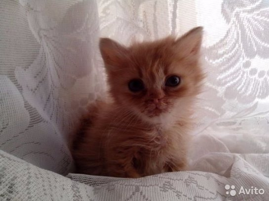 Рыжее чудо, которое превратилось в вальяжного кота