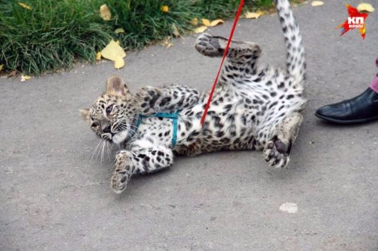 В Барнаульском зоопарке выгуливают маленького леопарда