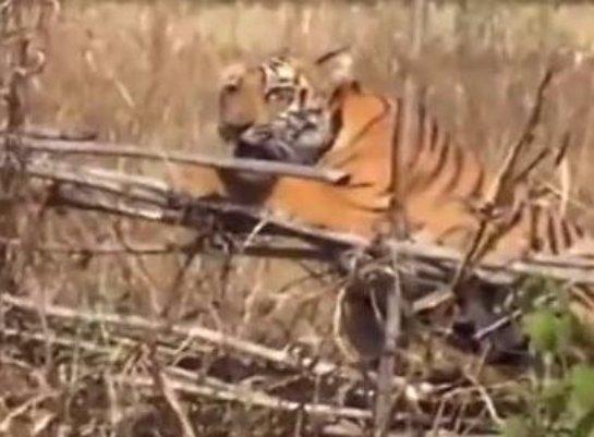 В Индии спасали застрявшего в ограде тигра