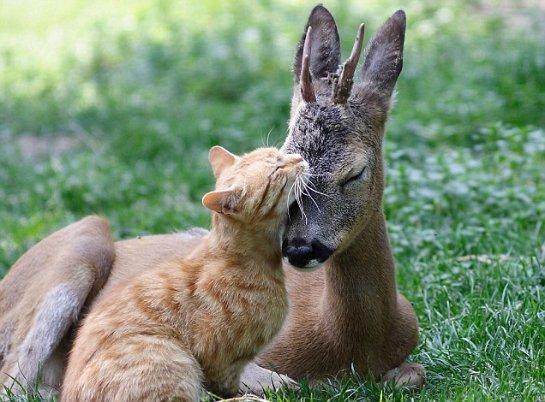 Оленёнок подружился с котом