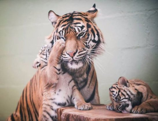 В США родилиcь тигрята-тройняшки