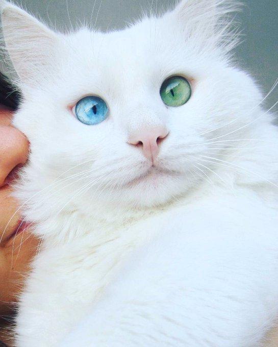 Кот с разноцветными глазами