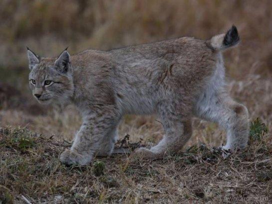 В Кроноцком заповеднике наблюдают за молодой рысью