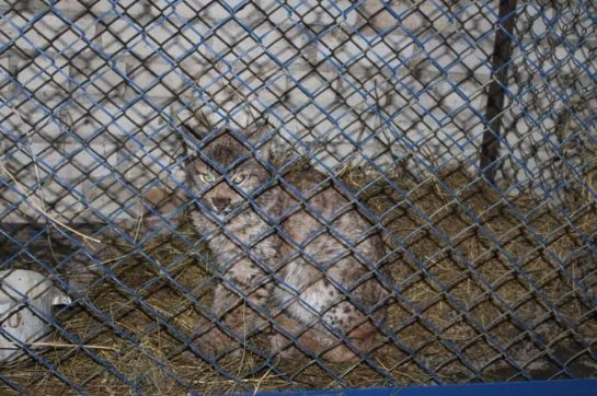 В Чувашии помогли голодному рысенку