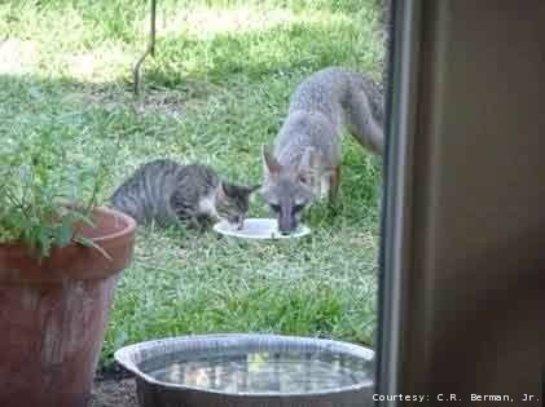В Техасе лис подружился с котами