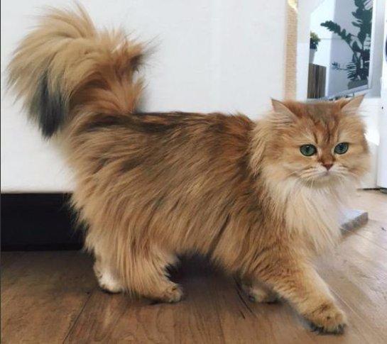 В Люксембурге живет кошка с идеально пушистым хвостом