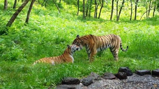 В Приморском сафари-парке тигр Амур «женился»