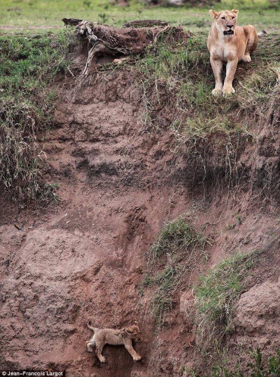 Мама-львица спасла своего львенка
