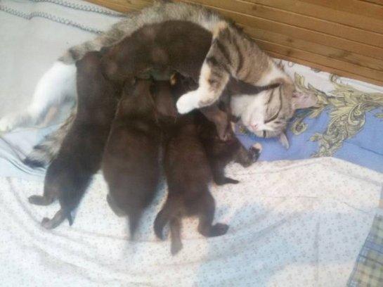 Кошка стала мамой для волчат