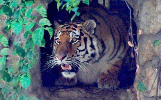 В Московский зоопарк прибыл амурский тигр