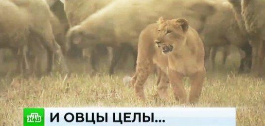 Львица-пастух из Дагестана