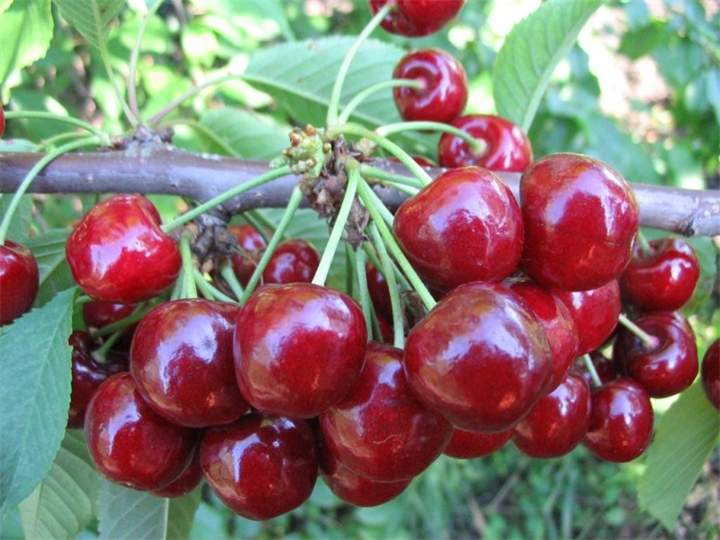 В России 46 тонн черешни и яблок из Польши и Украины были уничтожены бульдозером