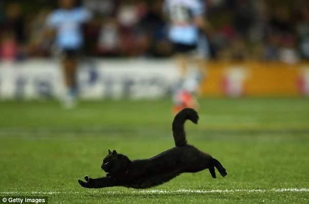В Австралии на поле для регби выбежал кот
