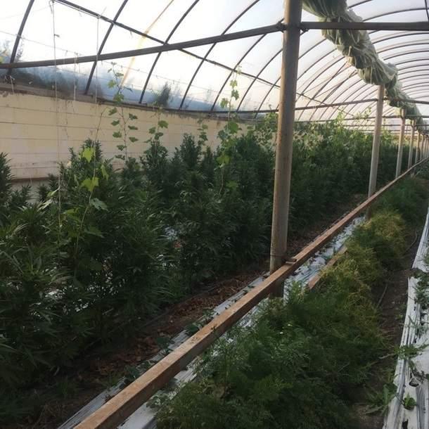 В Запорожской области обнаружили пять теплиц с плантациями марихуаны