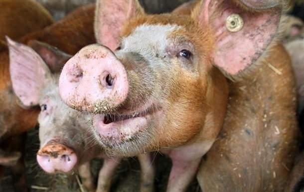 Случай африканской чумы свиней зафиксирован в Сумской области
