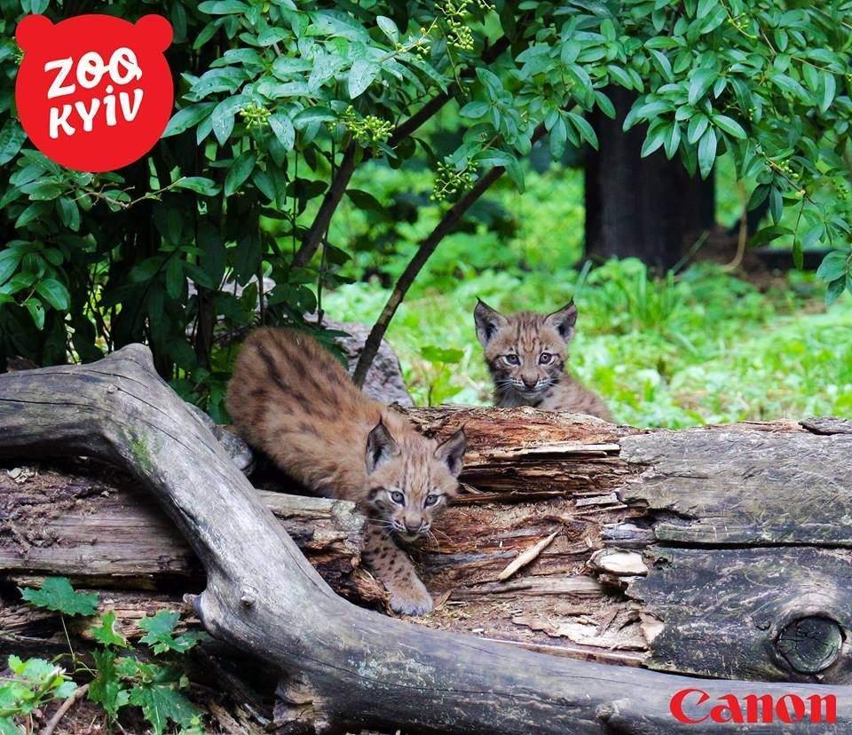 В столичном зоопарке можно посмотреть на детенышей рыси