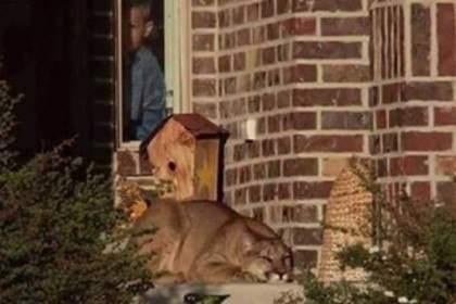 В Колорадо мужчина перепутал лежащую на пороге его дома пуму с домашней кошкой