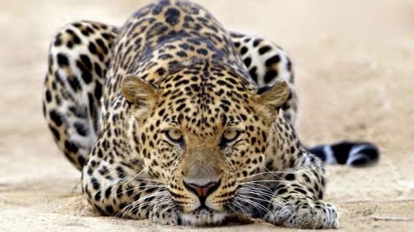 В Индии леопард напал на жителей деревни