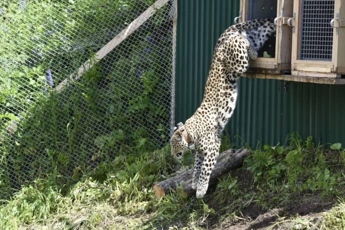 В Сочи трех леопардов выпустили на волю