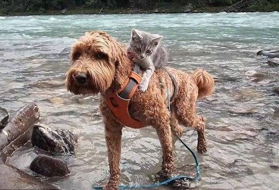 Котенок дружит с собакой