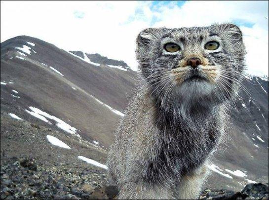 Фото алтайского манула, сделанное при помощи фотоловушки, покорило интернет-пользователей