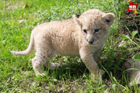 В Барнаульский зоопарк привезли детеныша льва