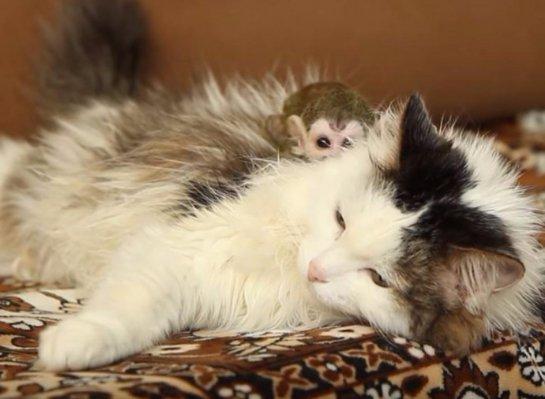 Кошка стала мамой для обезьянки