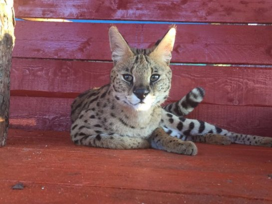 В Уссурийском зоопарке поселился дикий кот сервал