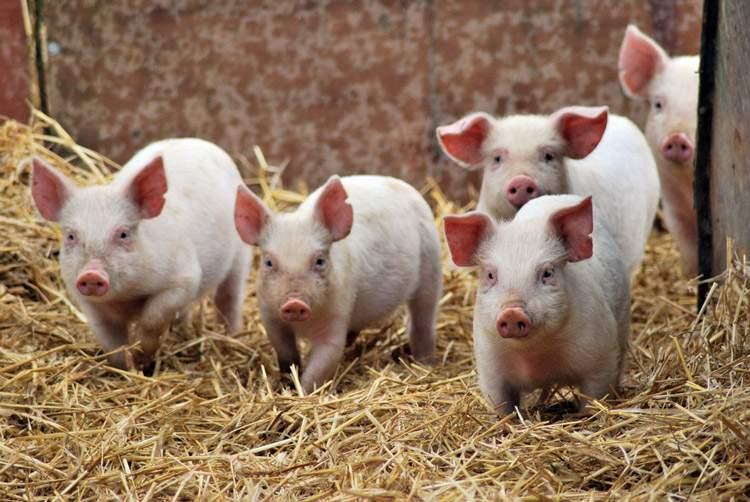 Из-за африканской чумы в Одесской области уничтожают свиней