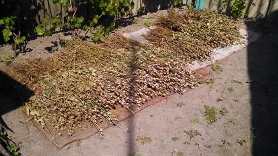 На Харьковщине СБУ изъяли почти 2000 растений снотворного мака