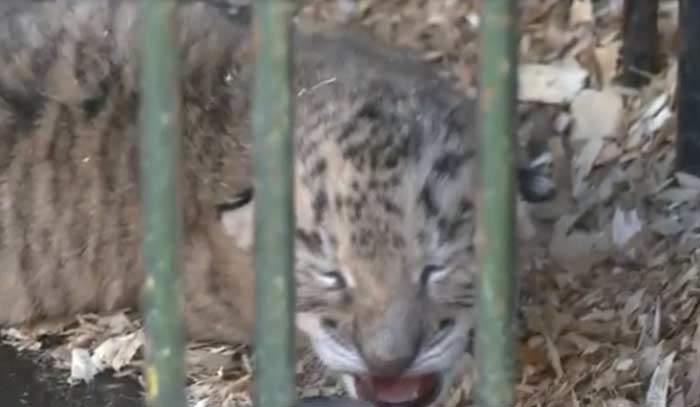 В российском цирке родился тигрольвенок