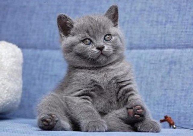 Домашние питомцы: британские котята